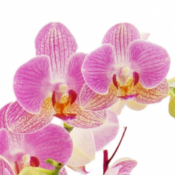 orchideentraum phalaenopsis in rosa pink im glas danke nach anlass zimmerpflanzen. Black Bedroom Furniture Sets. Home Design Ideas