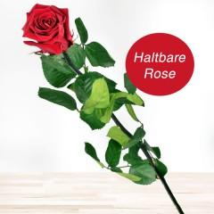 Haltbare rote Rose