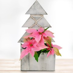 Rosa Weihnachtsstern