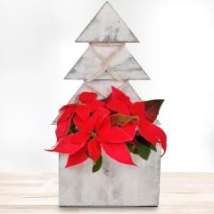 Roter Weihnachtsstern