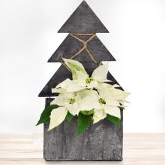 Weißer Weihnachtsstern