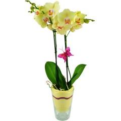 Dekorative, gelbe Orchidee (Phalaenopsis) im Glas