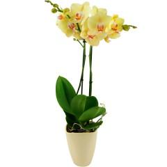 Gelbe Orchidee (Phalaenopsis) mit Keramikübertopf