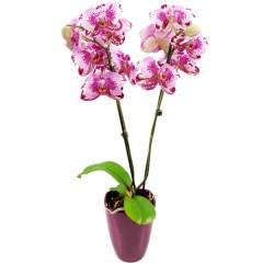 Rosa-Pink marmorierte Orchidee (Phalaenopsis) mit Keramikübertopf