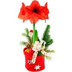 Geschenktopf Amaryllis in Rot