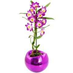 """Zimmerpflanze Dendrobium starglass, """"pink"""""""