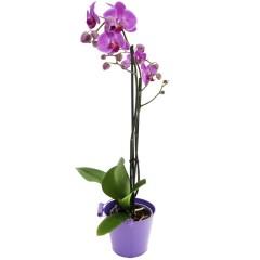Zimmerpflanze Phalaenopsis pink (ohne Übertopf)