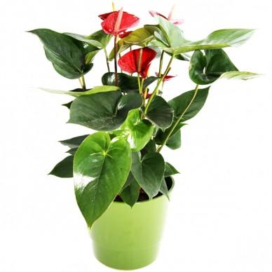Zimmerpflanze Anthurie