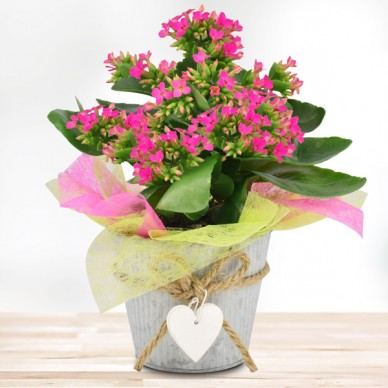 Kalanchoe in Pink