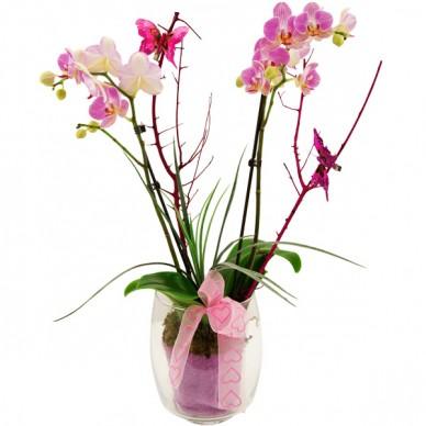 Orchideentraum (Phalaenopsis) in Rosa-Pink im Glas