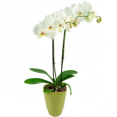 Weiße Orchidee (Phalaenopsis) mit Keramikübertopf