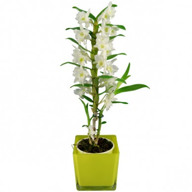 """Zimmerpflanze Dendrobium starglass, """"weiß"""""""