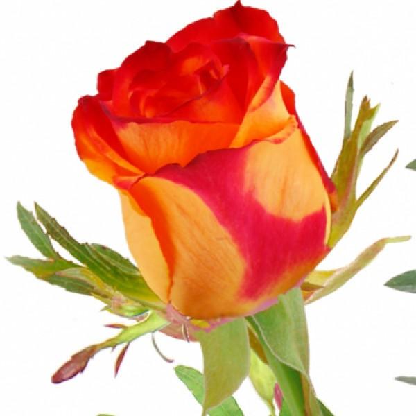 Gelb Rote Rosen Bedeutung : einzelne gelb rote rose einzelne rosen nach sorte blumenstr u e blumenversand ~ Whattoseeinmadrid.com Haus und Dekorationen