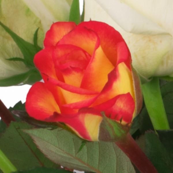 15 orange-weiße Rosen - Nach Preis - Schnittblumen Blumenversand ...