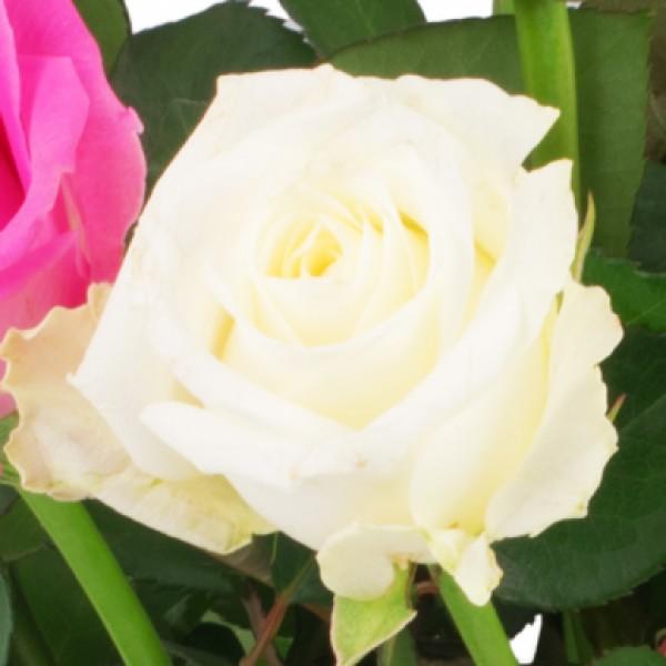 15 Rosa Weisse Rosen Blumenversand Bluvesa De Blumen Online