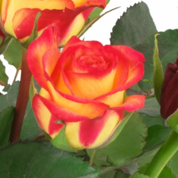 15 Rot Orange Rosen Blumenversand Bluvesade Blumen Online