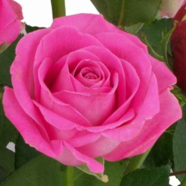 15 rot rosa rosen nach sorte schnittblumen blumenversand blumen online. Black Bedroom Furniture Sets. Home Design Ideas