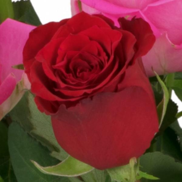 15 rot rosa rosen nach sorte schnittblumen. Black Bedroom Furniture Sets. Home Design Ideas