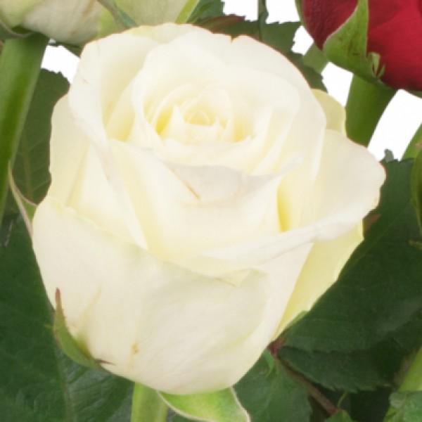 15 rot-weiße Rosen Blumenversand | Bluvesa.de - Blumen online ...