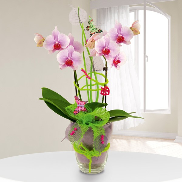 exklusives orchideengesteck phalaenopsis in rosa im glas zimmerpflanzen blumenversand. Black Bedroom Furniture Sets. Home Design Ideas