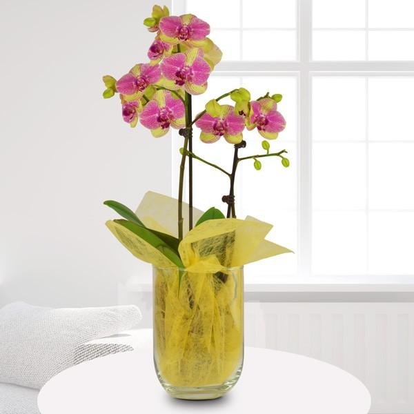 Gelb pink marmorierte orchidee phalaenopsis im glas for Dekorative zimmerpflanzen