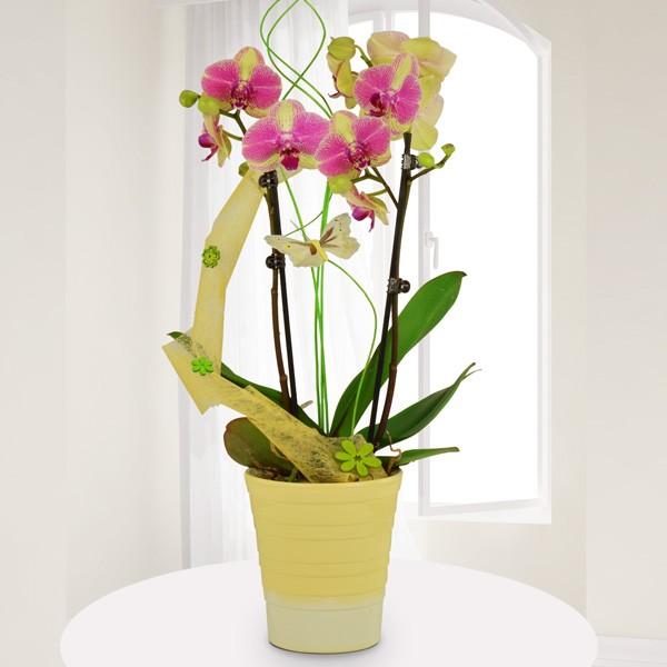 gelb pink marmorierte orchidee phalaenopsis mit keramik bertopf zimmerpflanzen blumenversand. Black Bedroom Furniture Sets. Home Design Ideas