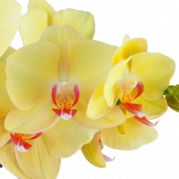 gelbe orchidee phalaenopsis mit keramik bertopf. Black Bedroom Furniture Sets. Home Design Ideas