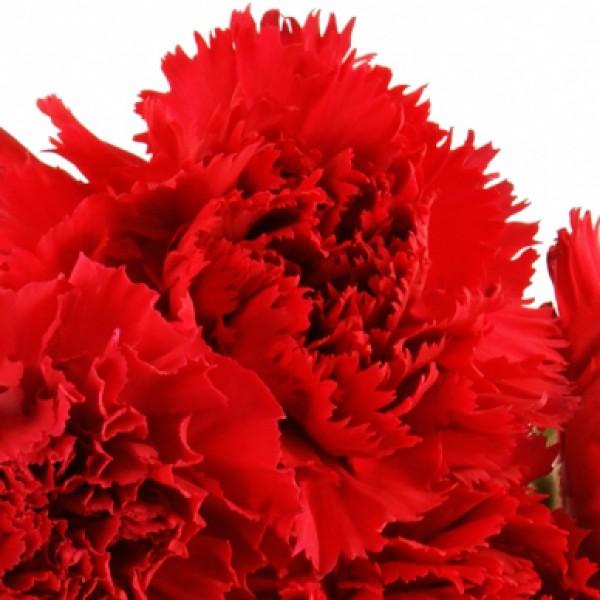 10 15 oder 20 rote nelken im bund nach preis. Black Bedroom Furniture Sets. Home Design Ideas