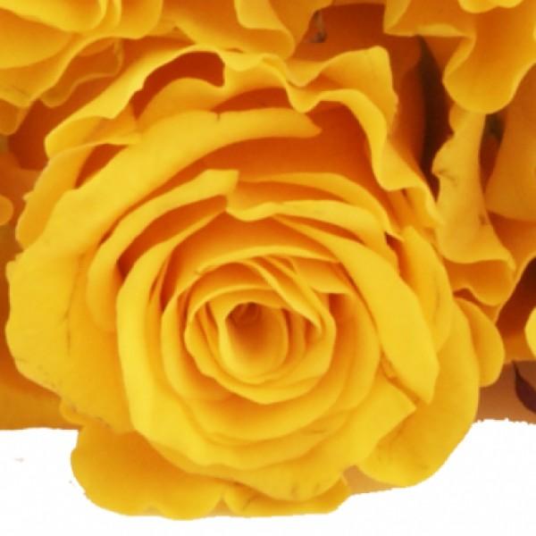 10 15 oder 20 gelbe rosen im bund alle preiskategorien nach preis schnittblumen. Black Bedroom Furniture Sets. Home Design Ideas