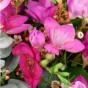 Freesienblüten