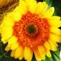 Gelbe Gerbera