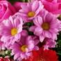 Rosa-lilafarbene Chrysantheme