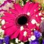 Pinkfarbene Gerbera