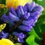 Blaue Hyazinthe