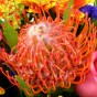 Orange-rote Protea