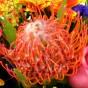 Orange-rote Protea