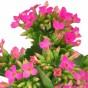 Pinkfarbene Blüten
