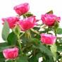 Pinkfarbene Rosenblüten