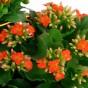 Orangefarbene Kalanchoe