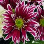 Lila-weiße Chrysantheme
