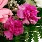 Pinkfarbene Spraynelken