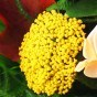 Gelbe Scharfgarbe