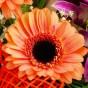 Orangefarbene Gerbera