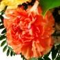Orange Nelke