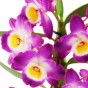 Blüten der Dendrobium starglass