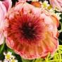 Rosa Protea